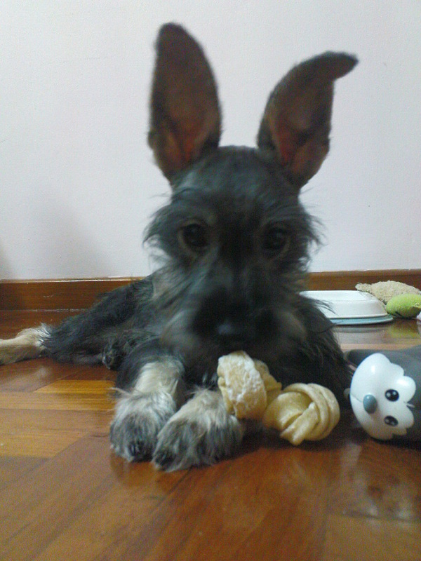 Toys, Schnoodles & odd colors - Riversong Miniature Schnauzers